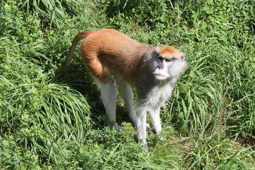 Care este cea mai rapida maimuta din lume?