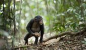 Ritualuri sacre, la cimpanzei?