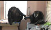 Doi cimpanzei cu povesti TRISTE de viata refuza sa se mai desparta!