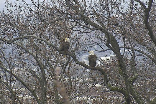 eagles_in_tree