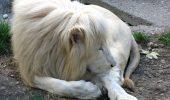 Canada: Un leu alb scapat dintr-o gradina zoologica a fost ucis