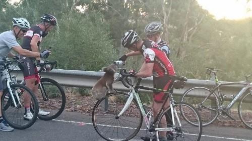 Cu adevarat EMOTIONANT: un urs koala opreste un biciclist pentru a-i cere apa