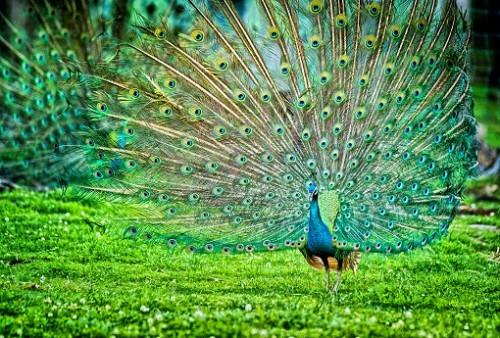 Couple of Peacocks doing Cartwheels
