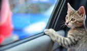 Sfaturi utile pentru o calatorie linistita cu masina, alaturi de pisica…