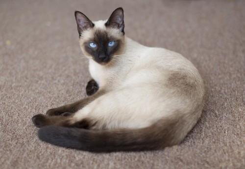 Pisica din rasa Thai