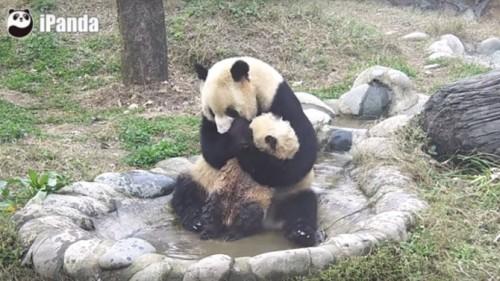 Micul panda urias nu vrea baie! Si pace!