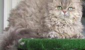 Pisica din rasa  Selkirk Rex
