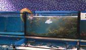 Smecherie de…TIPAR! A trecut dintr-un acvariu in altul, pentru a se infrupta pe cinste!