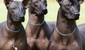Una dintre cele mai vechi rase de caini din lume – Xolo, mexicanul fara par!