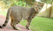 Totul despre Arabian Mau, pisica desertului!