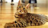 Bengaleza, prietena ideală pentru iubitorii de feline