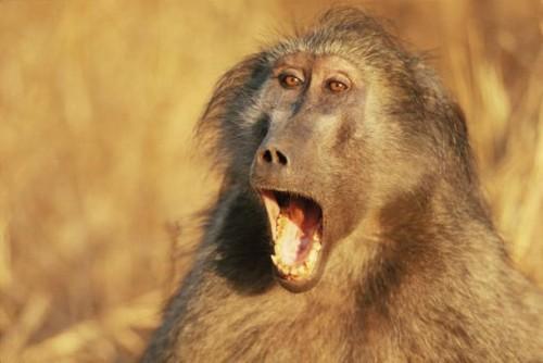 Xenostransplantul – un pas inainte! Un un babuin a supravietuit aproape 3 ani cu o inima de porc, in abdomen