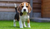 Beagle – simpatic, calm, afectuos!