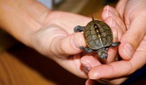 """Ce s-a întâmplat cu """"anii pierduți"""" din viața broaștelor țestoase cu carapace plată?"""