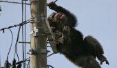 Bietul de el: un cimpanzeu decis sa nu se intoarca la Zoo
