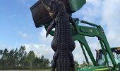 A fost omorat ucigasul de vite, un aligator de 4 metri si jumatate