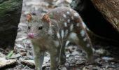 Pisicile marsupiale, specie in pericol de disparitie, sunt dresate in Australia sa evite sa manance broaste raioase toxice