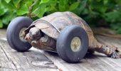 Ce nu fac unii pentru animale? O testoasa de 90 de ani a primit o pereche de roti, dupa ce si-a pierdut piciorusele anterioare