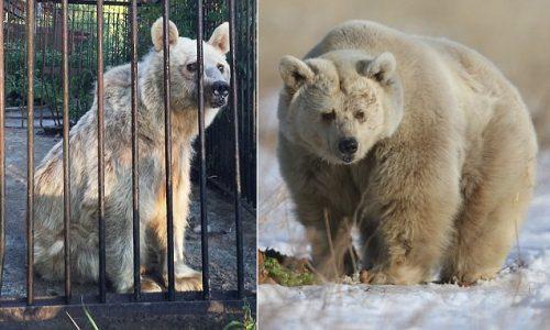 Povestea ursoaicei Fifi: salvata dupa 30 de ani de chin, in sfarsit fericita!