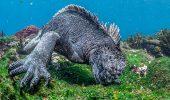 "FANTASTIC: ""Godzilla"" umanoida, de dimensiunea unui adult, filmata in largul coastelor Insulelor Galapagos"