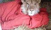 """Un leu nu se mai desparte de """"paturica"""" lui…"""