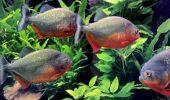 Peștii Piranha: Cum să îi crești ca să nu te trezești cu un deget retezat