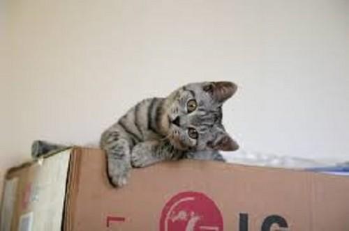 pisica cutie