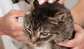 Cum curatam urechile pisicii?