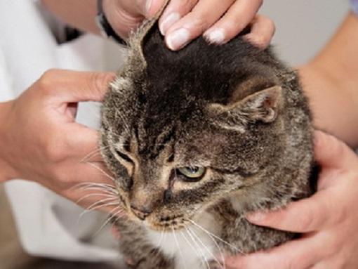 Ciuperca la pisici - 9 simptome și tratament, foto