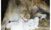Trei pui albinosi, de leu, s-au nascut intr-o gradina zoologica din Franta