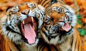 Vesti bune: creste numarul exemplarelor de tigru!!!