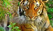 Relocarea tigrilor din India, in Cambodgia, pentru salvarea speciei