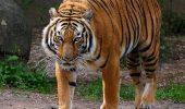 Un TIGRU de la grădina zoologică Galați este GRAV BOLNAV. 12 medici s-au mobilizat pentru salvarea lui