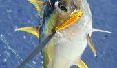 WWF si companii din industria tonului cer reducerea cu 20% a capturilor de ton cu inotatoare galbene