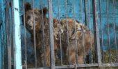 """Cei doi ursi, adusi din Armenia, la """"Libearty"""" Zarnesti, se acomodeaza cu noua lor """"casa""""!"""