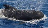 27 de balene au esuat pe o plaja din Mexic; numai trei au supravietuit