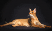Pisica Chausie – aspect salbatic, temperament domestic