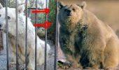 Dupa 30 de ani de chin, un urs s-a transformat total…