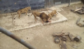 Chile: Doi lei au fost impuscati la o gradina zoologica, dupa ce un sinucigas a sarit in cusca acestora