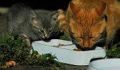 Alergia la mancare, in cazul pisicilor