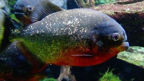 sursa foto: commons.wikimedia.org Peste Piranha cu burta rosie - numit si