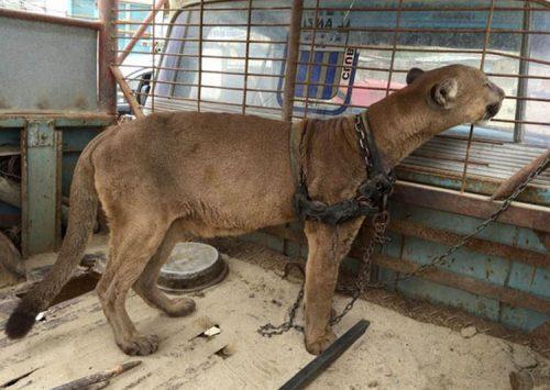 O puma, salvata dupa 20 de ani de captivitate!