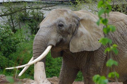 elephant-africa