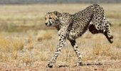 Ghepardul cel rapid – extreme performante atletice