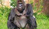 """Mărturisirea șocantă a unei persoane pulice: """"Gorilele sunt atrăgătoare și-mi fac hormonii s-o ia razna"""""""