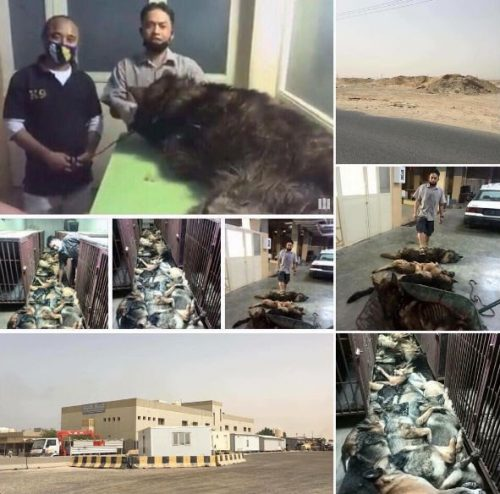 kuwait-dogs