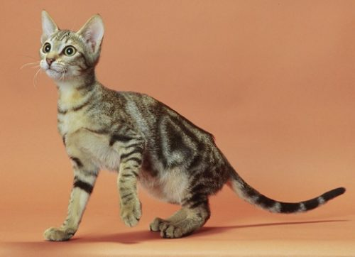 sokoke cat 2