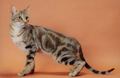 sokoke-cat1