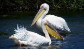 Cati pelicani avem in Romania?