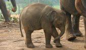 Moda puilor de elefant, ca animale de companie